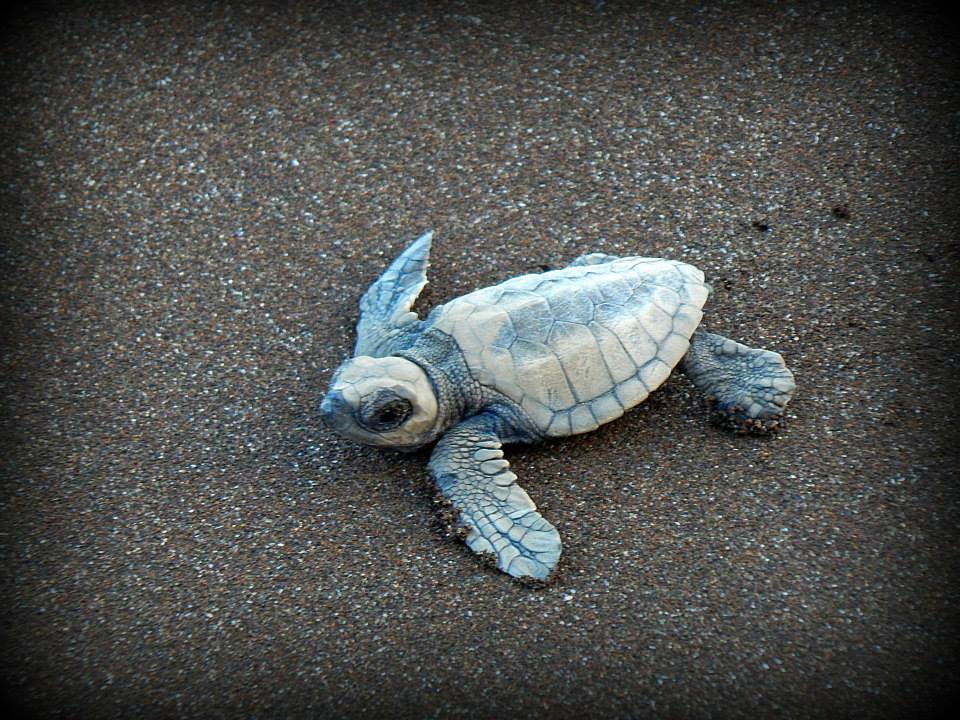new born olive ridley turtle