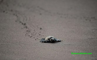 olive ridley turtle at velas